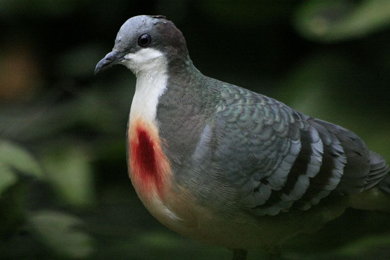 luzon-bleeding-heart-2
