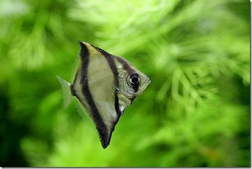 be-ca-canh-striped_mono_striped_fingerfish_cachimdoisoc-be-thuy-sinh