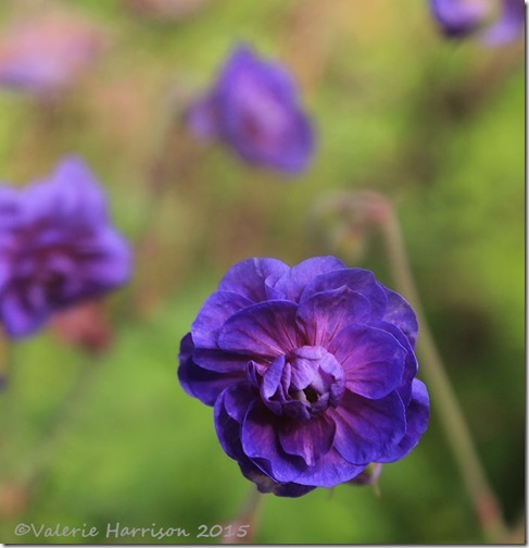 11-double-geranium
