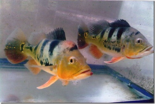 be-ca-canh-peacock_cichlid_pacock_bass_cahoangde001-be-thuy-sinh