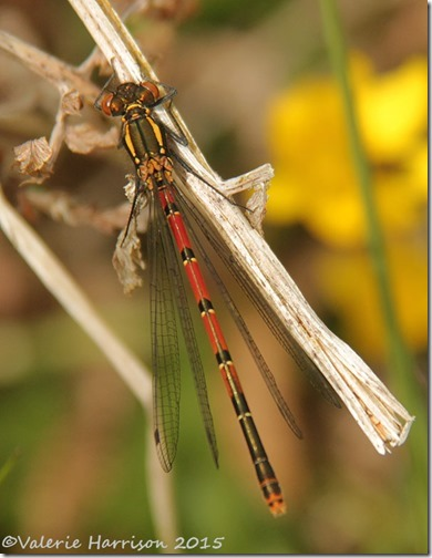12-large-red-damselfly