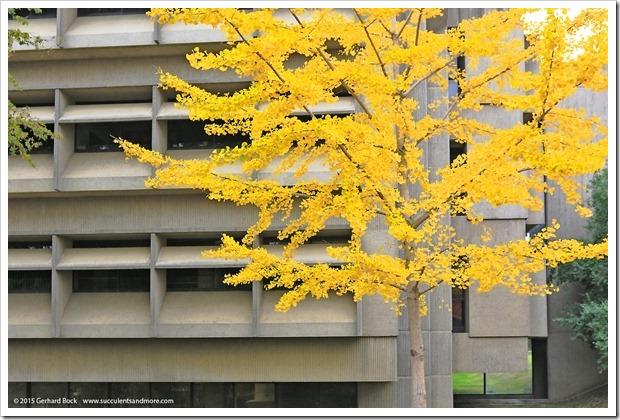 151206_UCD_Ginkgo-biloba_002