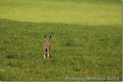 19-hare