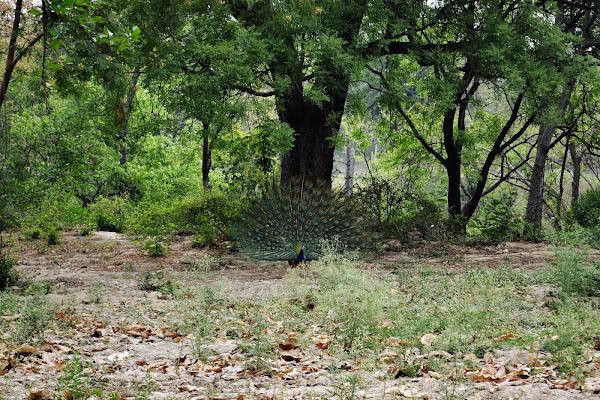 индия павлин парк дикий