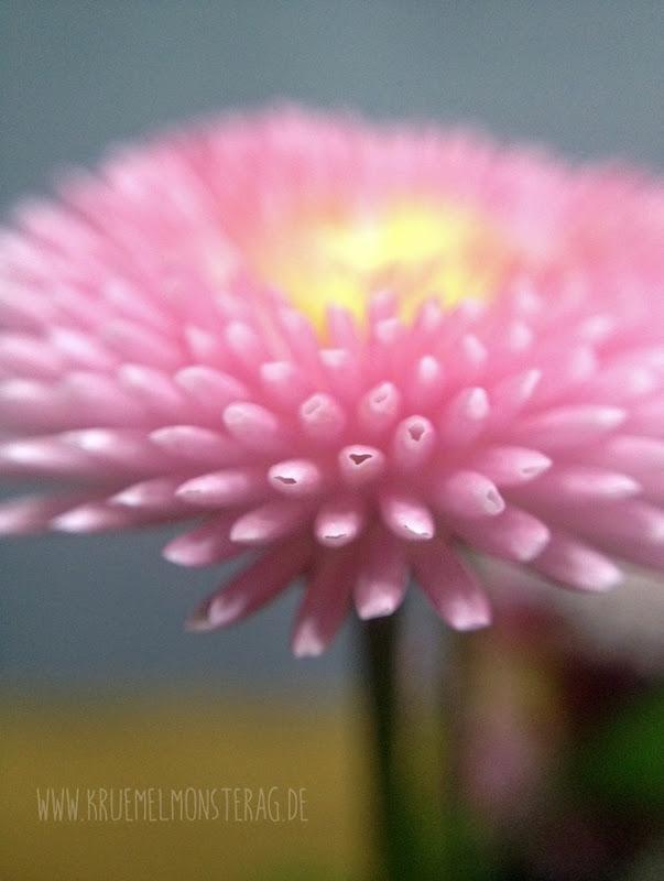 rosa Gänseblümchen (01)