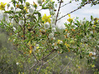 Creosote bush in bloom 5/8
