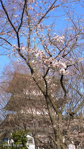 善光寺の桜3