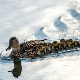 MOTHER LOVE by Liam Vo - Animals Other ( mallards, wildlife, birds, love motherhood )