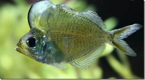 be-ca-canh-siamense_glassfish_casonxiem004-be-thuy-sinh