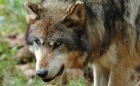 Gramat loup gris