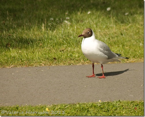 29-black-headed-gull