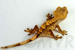 Murry - Sweet harlequin crested gecko from tricolor project at http://moonvalleyreptiles.com