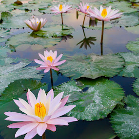 Lotus bloom by Tan  Kian Yong - Nature Up Close Flowers - 2011-2013 ( lotus, nature, bloom, leaves, flower )