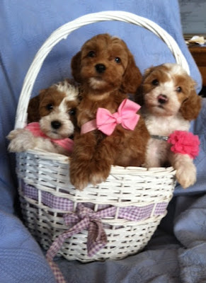 gorgeousdoodle puppies