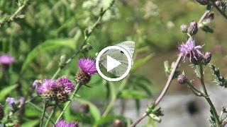 Dit Groot koolwitje geniet van de nectar uit Knoopkruid