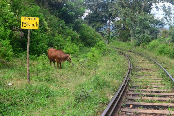Корова возле железной дороги, Шри Ланка