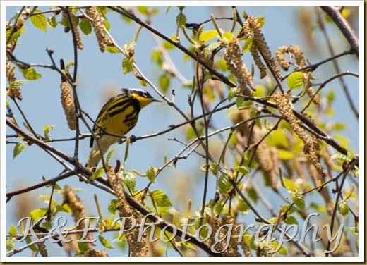 Warbler (2 of 3)-2