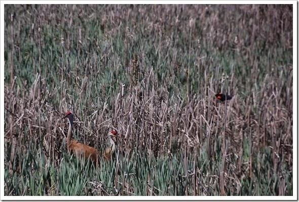 sandhill crane redwing crop