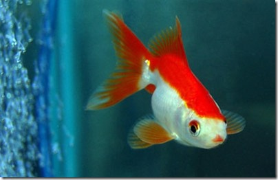 red-white-ryukin-goldfish
