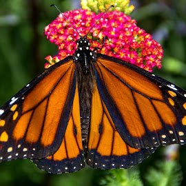 Monarch Butterfly by Judy Florio - Animals Insects & Spiders ( butterfly, monarch, turtle back zoo, nj, close up )