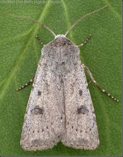 10641 Old Man Dart Moth (Agrotis vetusta)