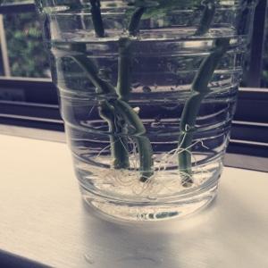 バジル 水耕栽培 キッチン菜園
