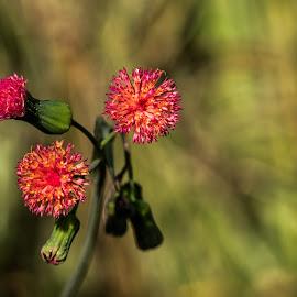 Florida Tasselflower by Rick King - Flowers Flowers in the Wild ( florida tasselflower, red, red flower, florida, red flowers, shingle creek, orlando, round, bokeh, flower )