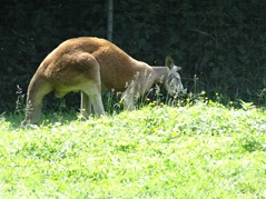 201506.21-072 kangourou roux