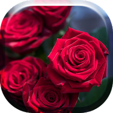 Red Roses Flowers HD
