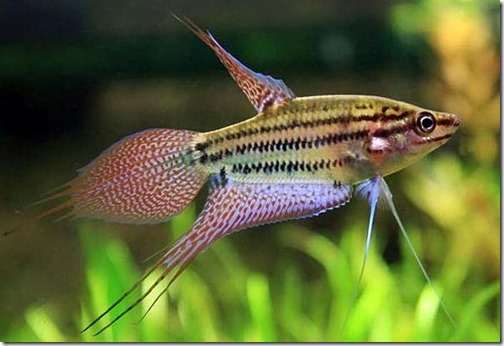 be-ca-canh-croaking_gourami_cabaitrau004-be-thuy-sinh