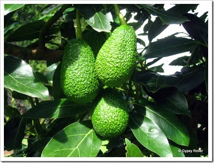 Next seasons avocados