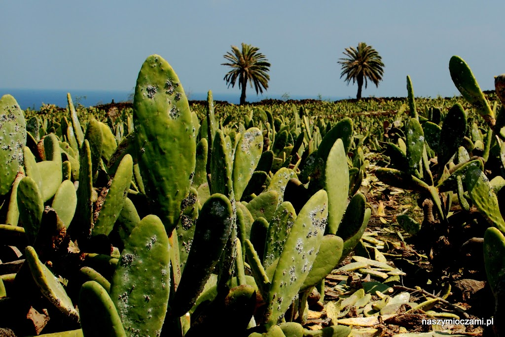 Te białe mszyce (koszenile) na kaktusach to naturalny barwnik wykorzystywany w przemyśle kosmetycznym, tekstylnym!