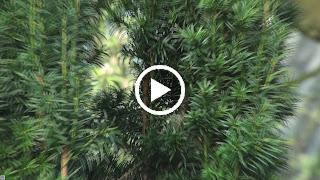 Het nestmateriaal wordt door de Staartmees verwerkt in het nest in de taxus