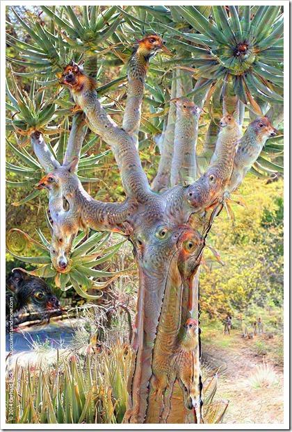 weird2015-07-19_19-52-22.150356110223_LivingDesert_.Aloe-dichotoma_jpg