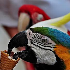 Ice cream yum yum! by Francis Xavier Camilleri - Animals Birds ( colors, parrot, feathers, icecream, eye )