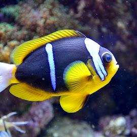 by Simona Ciglenean - Animals Fish
