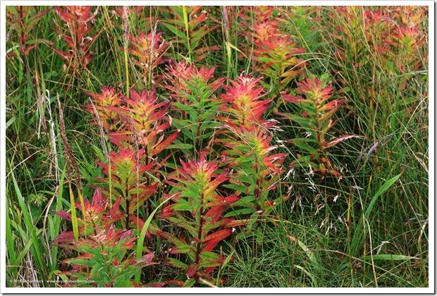 150908_Adak_fireweed_WM