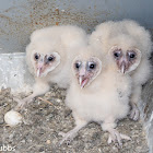 Barn Owls, 25 days old