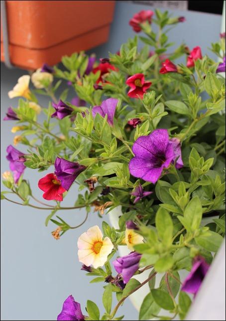 00 Blumen Balkon Petunien