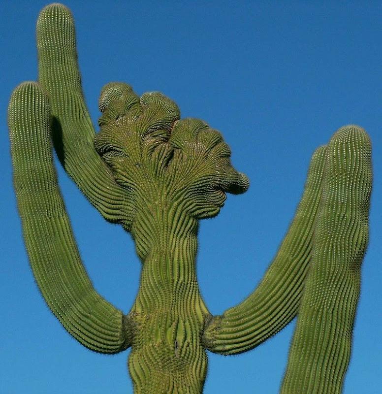 crested-saguaros-9
