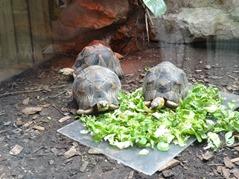 201506.21-005 tortue étoilée