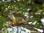 African olive pigeon (photo by Clare) - Kruger National Park. YELLOW SOCKS!! :)