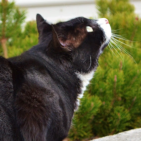 Prey Watching by Cathryn Luna - Animals - Cats Portraits ( cats, pets, outdoors, garden )