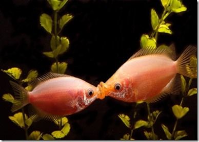 be-ca-canh-kissing_gourami_camui_cahuong-be-thuy-sinh