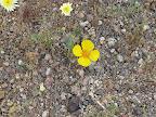 Happy Mexican Golden Poppy 4/18