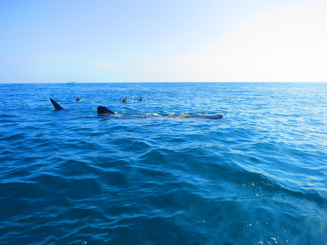 Swimmers near one of the whale sharks.