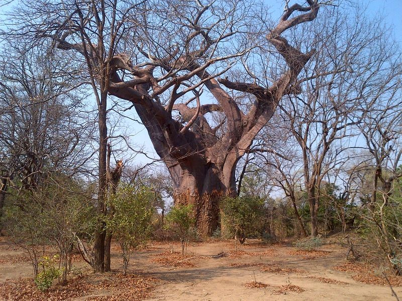 leper-tree-malawi-2
