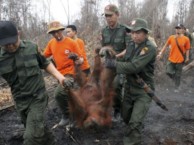 Natural Resources Conservation Centre officers and members of the Orangutan Foundation evacuate a 19-year-old female orangutan from a forest area affected by fires near Sampit, Central Kalimantan on 28 October 2015. Photo: Antara Foto / AP