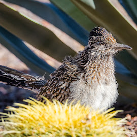 Roadrunner by Dave Lipchen - Animals Birds ( roadrunner )