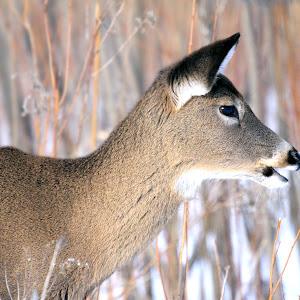 deer Boucherville2-10-13 515.jpg